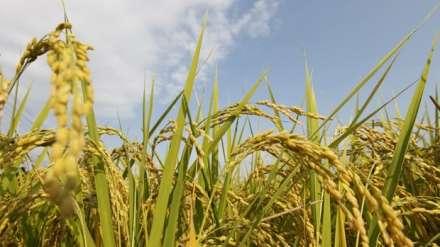 http://www.botasot.info/img/japan-rice.jpg