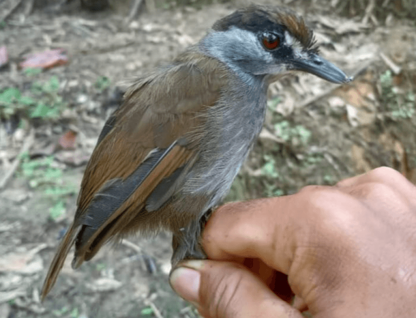 Gjendet zogu i konsideruar si i zhdukur që 170 vjet